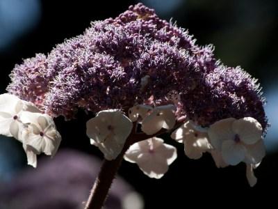 érdeslevelű hortenzia