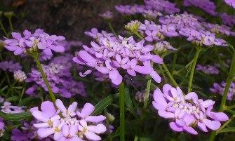ernyős tatárvirág