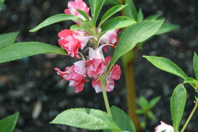kerti nebáncsvirág