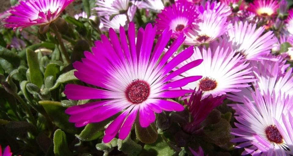 csillagos dorottyavirág