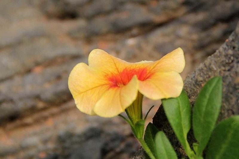 dúsvirágú petúnia