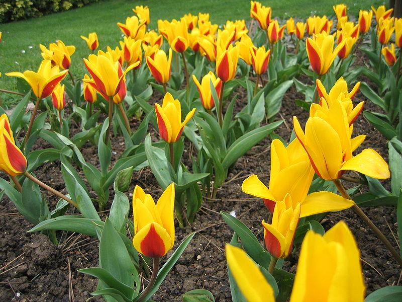 kaufmann-tulipán