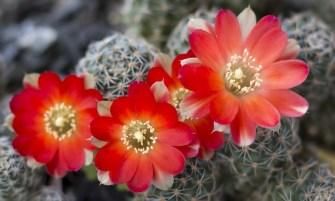 rebutia kaktusz