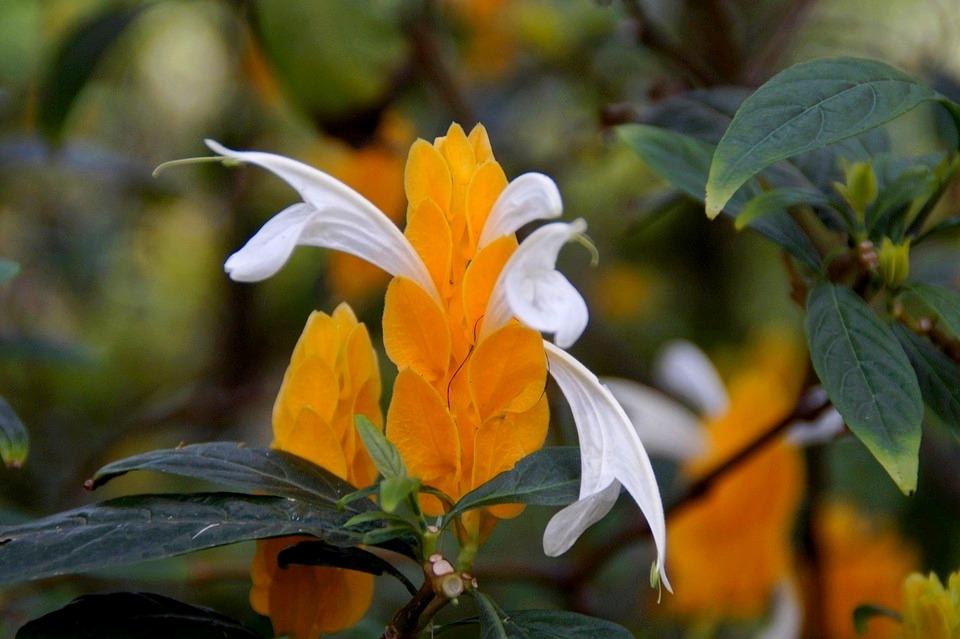 sárga nyalókavirág