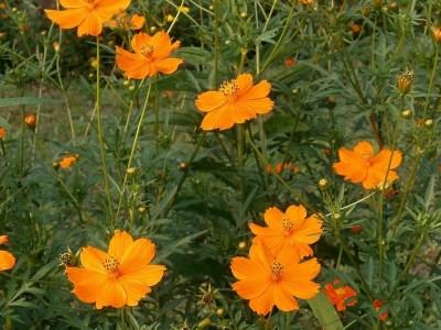 sárga pillangóvirág