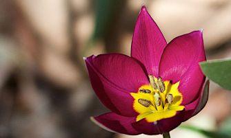 törpe tulipán