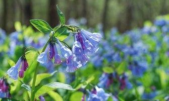 virginiai tüdővirág