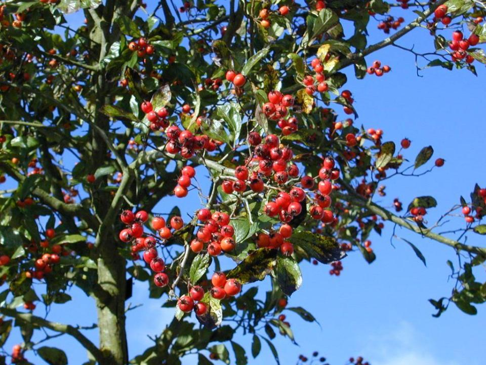 Crataegus lavallei 'Carrierei'