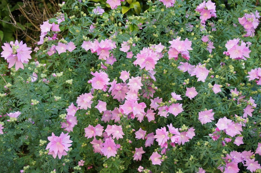 Lavatera × clementii 'Rosea'