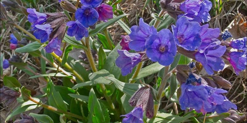 Pulmonaria angustifolia