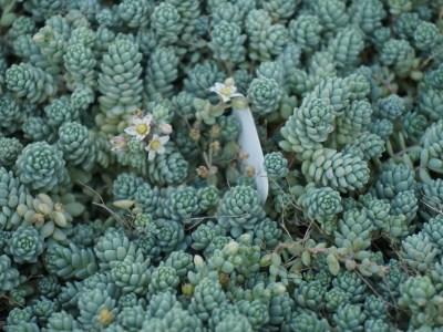 Sedum dasyphyllum 'Major'