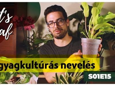 Agyagkultúrás szobanövények