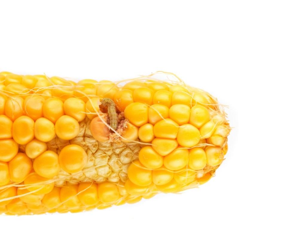 kukorica bogár