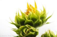 sunflower-brydie-piaf