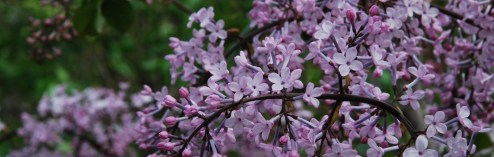 Harvard's Arnold Arboretum: Lilacs, Magnolias, Moss and More