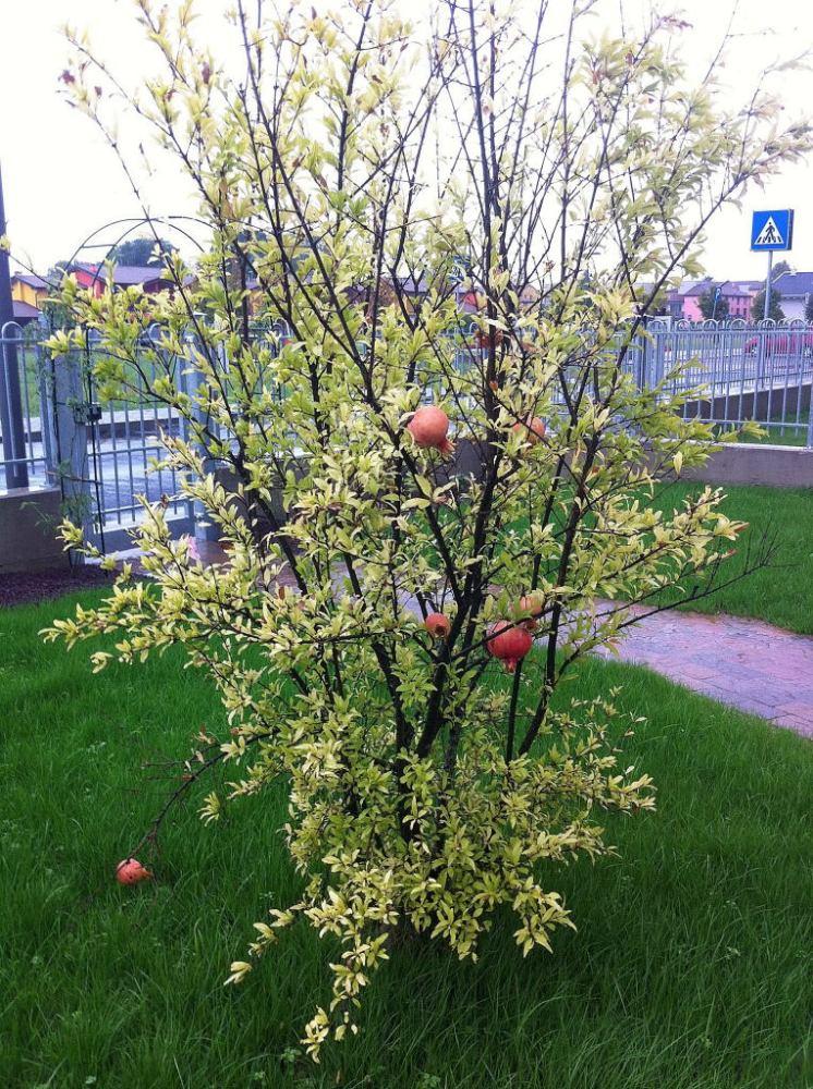 Pomegranate Season (4/4)