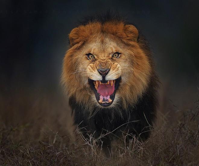 Lev je v fotografu videl plen.