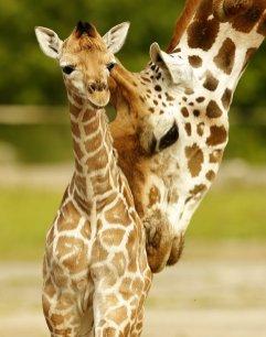 19. mesto: Žirafi v živalskem vrtu Chester (VB)