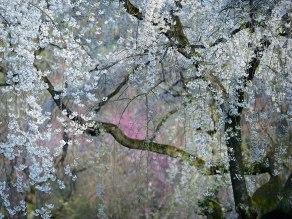 19. Cvetenje, Japonska