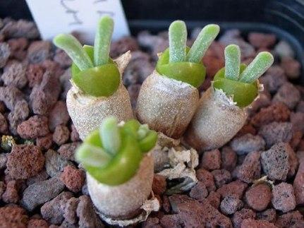 Kaktus Monilaria obconica