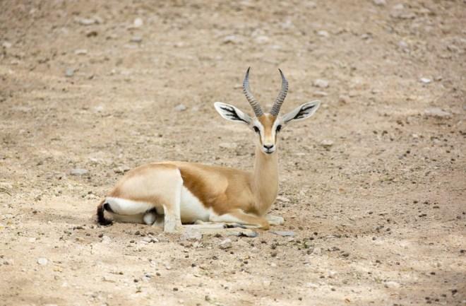 Dorcas gazele nikoli ne pijejo vode.