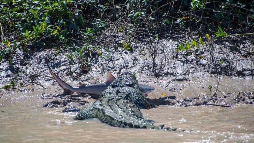 Krokodil in morski pes