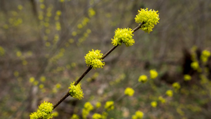 Spicebush flowers from early spring Bud Break Walk