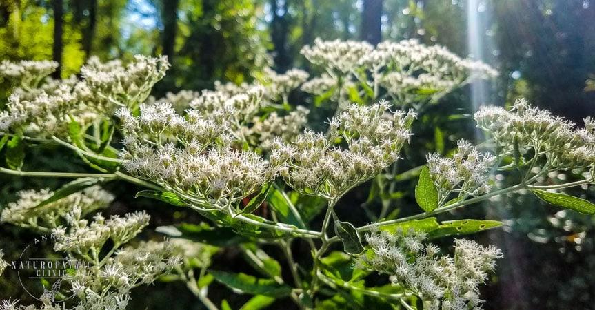 Botanical Medicine Wild Boneset | Annex Naturopathic Clinic | Toronto Naturopaths
