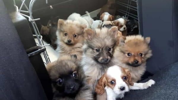 Traffico di cani, cuccioli appena nati portati dall'estero dopo viaggi  dell'orrore