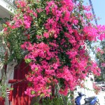 flowers of Skiathos