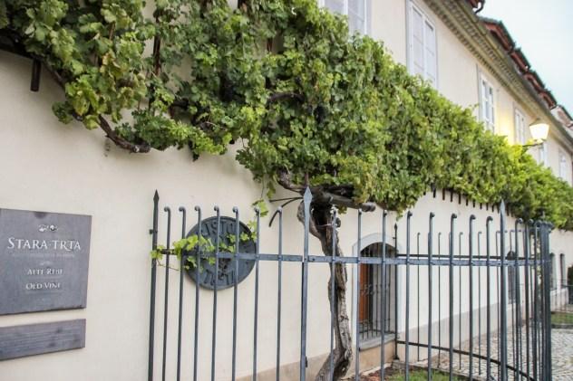 Old Vine | Sightseeing in Maribor