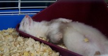 sleeping-ferret