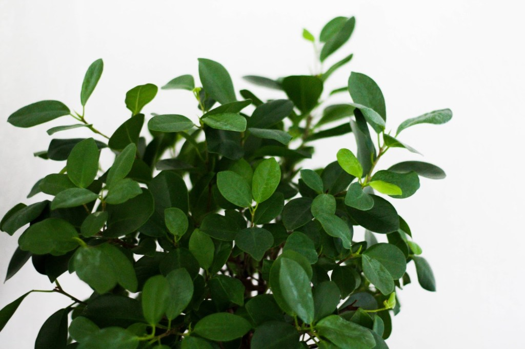 How to propagate a ficus plant from cutting