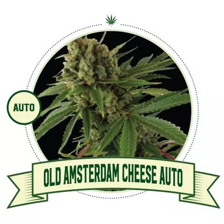 Old Amsterdam Cheese Auto