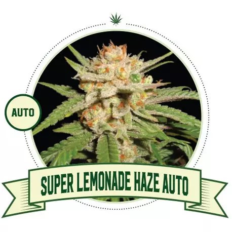 Super Lemonade Haze Auto
