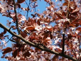 springblossoms