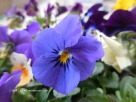 violetbluebell
