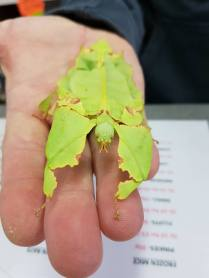 Giant leaf insect. Photo: Lincoln Reptile and Pet Centre
