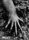 SALGADO SALGADO_2004_GENESIS_Iguane marin_galapagos