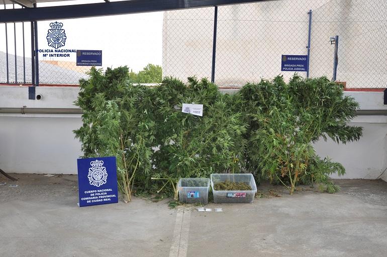 Desmantelada por la Policia Nacional una plantación ilegal de marihuana en la Poblachuela