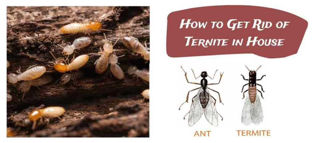 Termites in House & How to get rid of termite attack