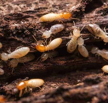 Termite in House and How to Get Rid of Termite Attack