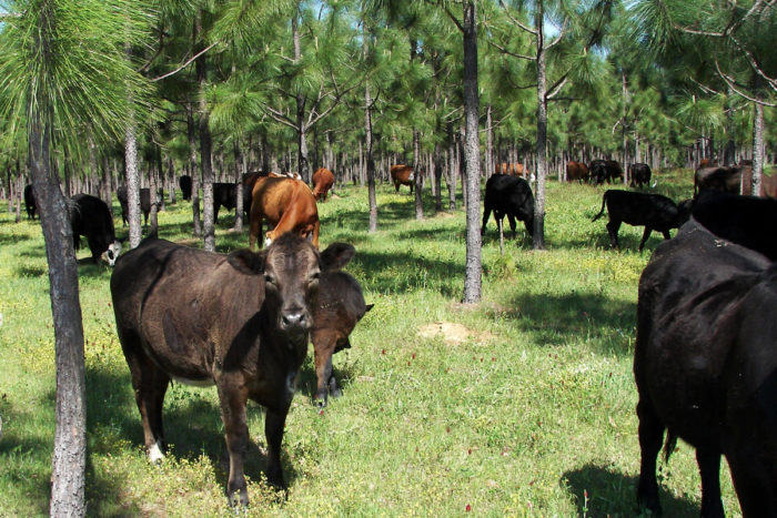 Cattle grazing in a silvopasture forest in Georgia. (Photo CC-licensed by the USDA National Agroforestry Center)