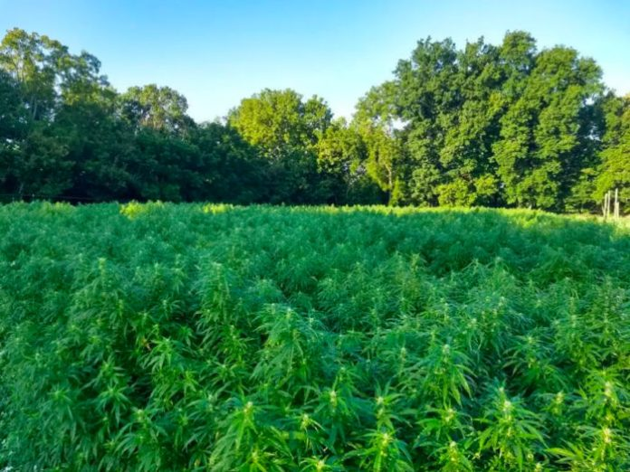 In 2018, Alice Collins and Joe Mettille grew an experimental half-acre of hemp at her family's cattle farm in Anderson County, Kentucky. (Credit: Joe Mettille)