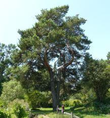pino-silvestre-2