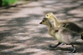 2 young geese running