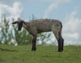 9-dsc_0056-sheep-standing-alone-small