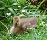 young goose in Romberg Park