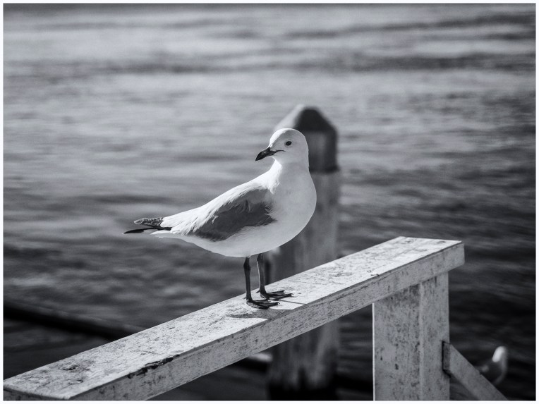 Seagull in B&W