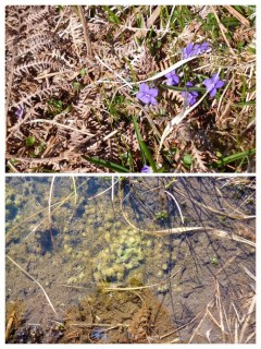 Some early flowers and tadpoles
